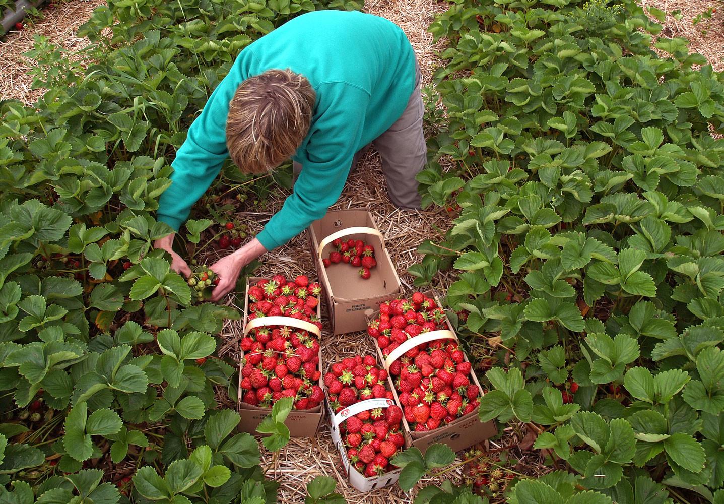 Земляника садовая выращивание и уход после сбора урожая 31